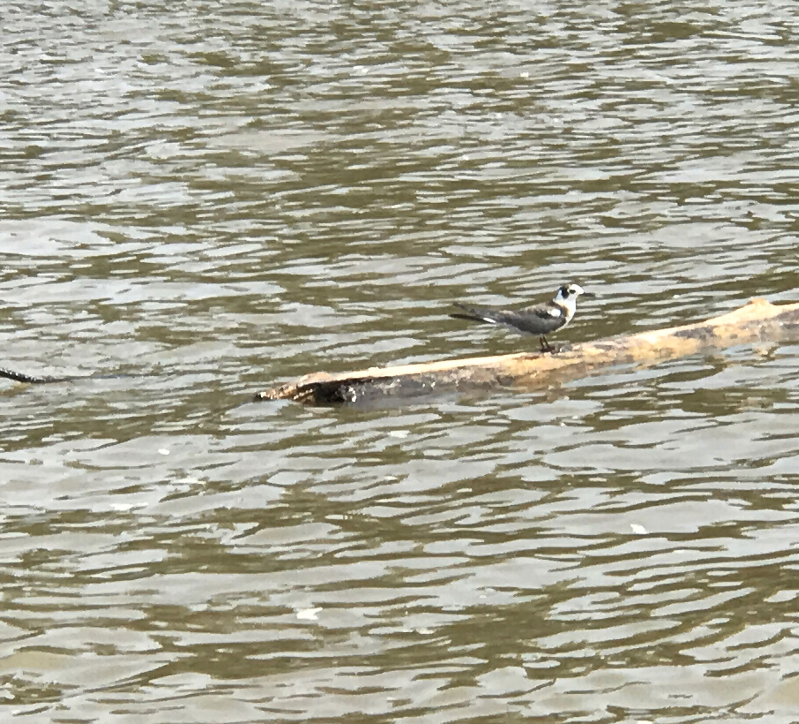 A bird sitting on a piece of drift wood in the Mississippi River